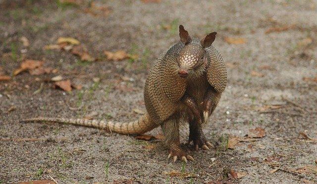 Brazilian Animals: Armadillo
