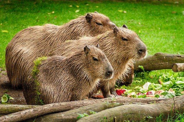 Brazilian Animals: Capybara