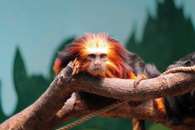 Brazilian Animals: Golden Lion Tamarin