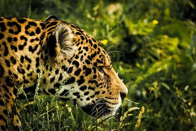 Brazilian Animals: Jaguar