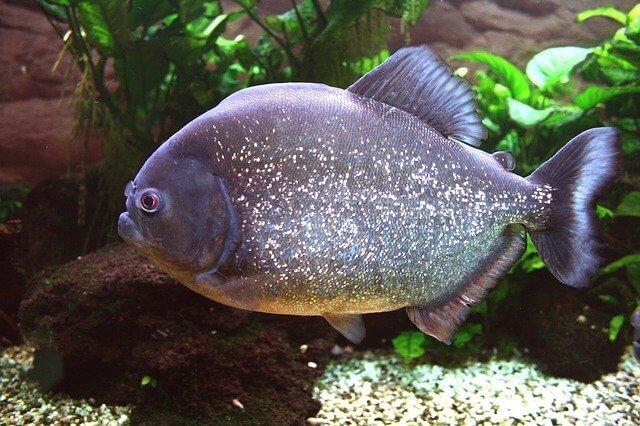 Brazilian Animals: Piranha