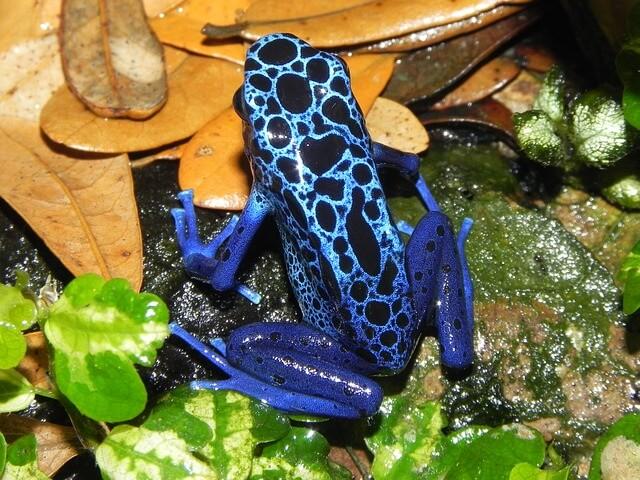 Brazilian Animals: Poison Dart Frog