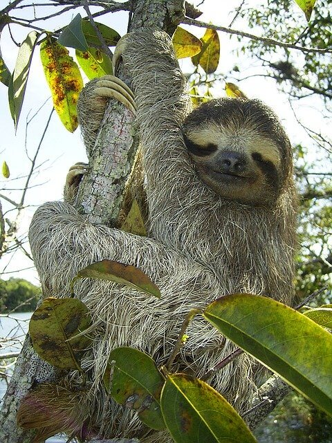 Brazilian Animals: Three-Toed Sloth